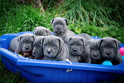 best food for cane corso
